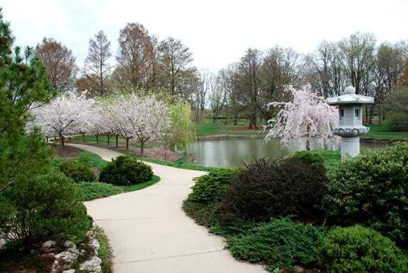pathway with cherry trees